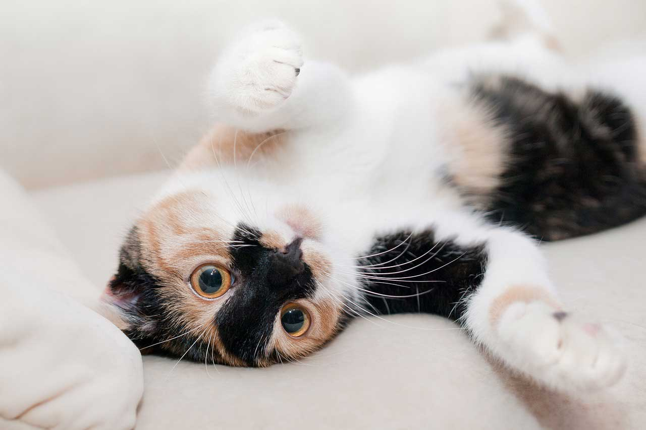 What Does It Mean When My Cat Lies Belly Up Pleasant Plains Animal Hospital